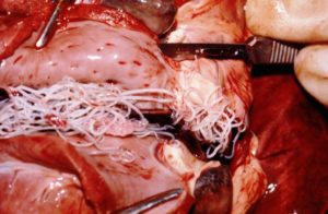 Canine (Dog) Heartworm Disease   Bell Shoals Animal Hospital